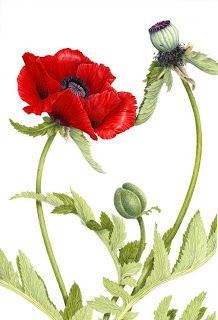 """Awarded Third Best in Show and voted joint """"People's Favourite"""" in the pure coloured pencil category of the UKCPS exhibition in September Botanical Drawings, Botanical Illustration, Botanical Art, Watercolor Illustration, Watercolor Poppies, Watercolor Paintings, Poppy Drawing, Color Pencil Art, Colored Pencils"""