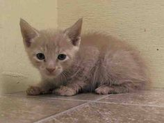 NYACC ***URGENT** ULTRA CUTE BABY ALERT***  TO BE DESTROYED 7/16/14 Manhattan Center  My name is EUGENE. My Animal ID # is A1006395. I am a female crm tabby domestic sh mix. The shelter thinks I am about 6 WEEKS old.  I came in the shelter as a STRAY on 07/12/2014 from NY 10463, owner surrender reason stated was STRAY. I came in with Group/Litter#K14-185586.  https://m.facebook.com/photo.php?fbid=831382786873555&id=155925874419253&set=a.576546742357162.1073741827.155925874419253&source=43