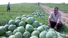 Adana'da karpuz hasatı.