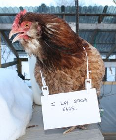 youve heard of dog shamming well chickens want in 3 Youve heard of dog shaming, well chickens want in Photos) Farm Animals, Animals And Pets, Funny Animals, Cute Animals, Funny Pets, Chicken Humor, Chicken Art, Funny Chicken, Chicken Coops