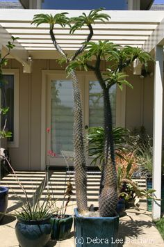 Your front porch is the first room of your home guests see. It sets the stage, reveals how tidy you are, and how much the aesthetics of your environment matter to you. Tropical Landscaping, Outdoor Landscaping, Tropical Plants, Outdoor Gardens, Cacti And Succulents, Planting Succulents, Cactus Plants, Potted Plants, Trees And Shrubs