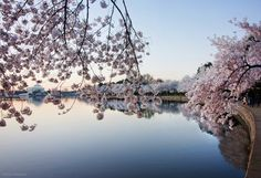 Tracking the cherry blossoms: The perfect peak! (Photos) - The Washington Post