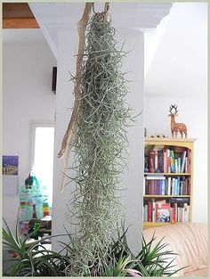 :: Tillandsia usneoides ou fille de l'air, spanish moss, old man's beard Air Plant Display, Plant Decor, Hanging Air Plants, Indoor Plants, Cool Plants, Green Plants, Tillandsia Usneoides, Plants Near Me, Moss Decor