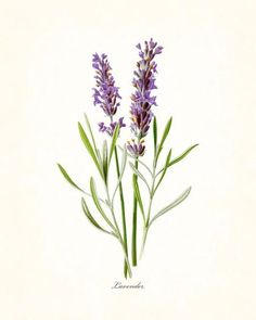 French Lavender Botanical Print - Canvas Art Print