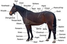 Google Image Result for http://upload.wikimedia.org/wikipedia/commons/thumb/8/85/Points_of_a_horse.jpg/330px-Points_of_a_horse.jpg