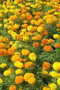 Flowers Gif, Flowers Nature, Exotic Flowers, Love Flowers, Yellow Flowers, Very Beautiful Flowers, Beautiful Gardens, Marian Garden, Marigolds In Garden