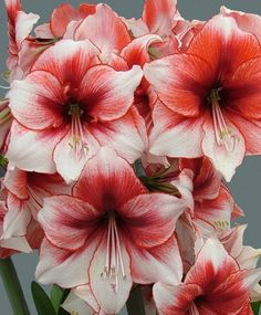 Amaryllis Temptation  ---  white with raspberry splashes & a picotee edge. Order now from bulb dealers!