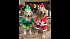 Have fun with Wag Pets and cute Labrador Santa 🐾 Animals And Pets, Funny Animals, Cute Animals, Dogs Golden Retriever, Labrador Retriever, Golden Retrievers, Cute Puppies, Dogs And Puppies, Golden Puppy
