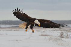 Snowfall landing #bird