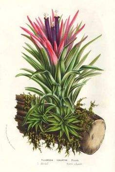 Bromeliaceae - Tillandsia ionantha From: Flore des serres et des jardins de l'Europe by Charles Lemaire and others.