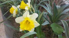 #Narcissuss flower  ازهار النرجس #yellow #اصفر