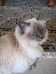 Tajomeer Blue Sapphire mink aged 10