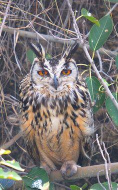 Indian Eagle Owl or Rock Eagle Owl (Bubo bengalensis)