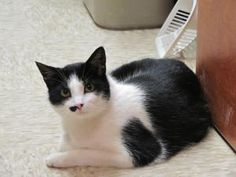Stash is an adoptable Domestic Long Hair-Black And White Cat in Chelmsford, MA. My name is Stash! Which is short for mustache since I look like I have a little half of a mustache on my cute face! I am...