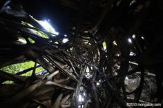 Looking up a stranger fig in the Indonesian rainforest