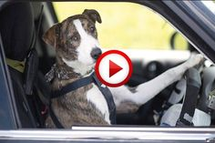 Dog Drives To The Park Video #animals, #dogs, #funny, #cars, #videos, https://facebook.com/apps/application.php?id=106186096099420
