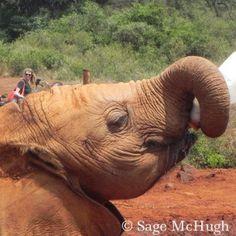 Kenya's Elephants, David Sheldrick Wildlife Trust, i adopted a baby elephant