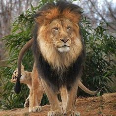 #lion #tiger #lionwhisperersa #dangerous #fight #fighting #fighter #blood #battel #pokemon #digimon #digimonadventure #onepiece #naruto #dbz #anime #blood #king #queen #princess #epic #africa
