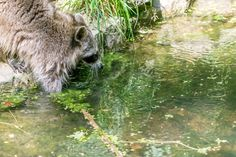 Waschbär - Ein Waschbär fischt im Bach