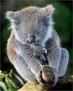 Amazing wildlife - Koala with baby photo #koalas