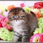 You will see some of our past Chocolate Persian kittens. Chocolate Persian Cat Pictures, Chocolate and white bicolor Persian Kittens and cats Persian Kittens For Sale, Cats And Kittens, Teacup Kitten, Dog Cat, Cute Animals, Kitty, The Incredibles, Pets, Sacks