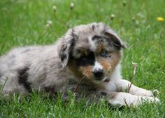 I will have this doggie. Lol Miniature American Shepherd