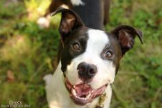 Chuck is an adoptable American Staffordshire Terrier searching for a forever family near Portland, OR.