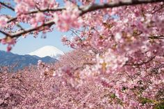 21 Most Beautiful Japanese Cherry Blossom Photos - Rhapsody in pink – Mt. Fuji and early-flowering Sakura