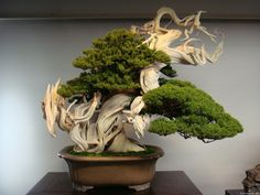 A bonsai tree can add such beautiful to your backyard decoration and home decor. There are many but I've selected 60 best trees for bonsai. Flowering Bonsai Tree, Bonsai, Japanese Garden, Plants, Organic Gardening, Tree Designs, Miniature Trees, Tree, Buy Bonsai