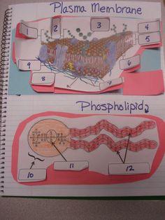 plasma memb foldable 1 (1)