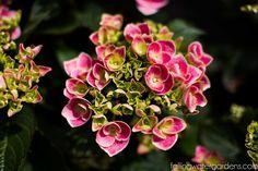 fwg-5500 Macrophylla, Plants, Plant Signs, Water Garden, Garden Plants, Hydrangea Macrophylla, Flowers, Water Garden Plants, Garden Design