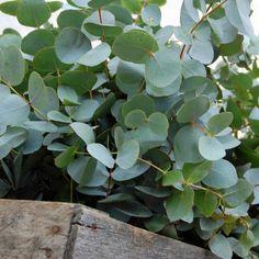 Eucalipto #verde #moonflowerartefloral
