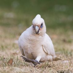 Little corellas avoid thick forests and prefer the arid deserts of central Australia to the eastern coastal plains and are found in N, central, E and SE Australia, the W Cape York Peninsula, and New Guinea. (Lennart Hessel)