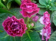 gloxemias flowers | Gloxinia (Sinningia speciosa) has oblong fuzzy leaves, large velvety ..