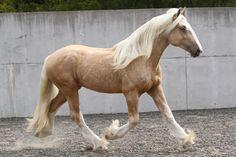 palomino - Drum Horse stallion Gunther