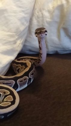 How could any one fear this face? Axanthic ball python