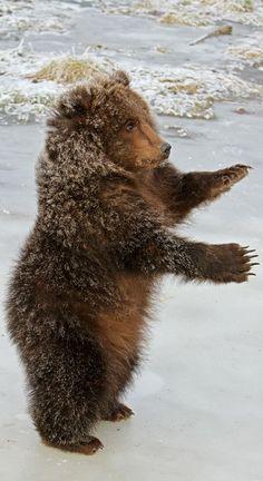 Baby Kodiak Grizzly Cub