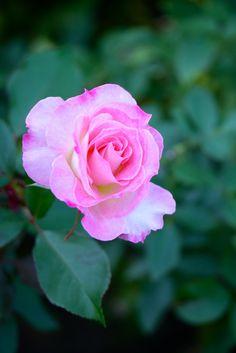 'Matilda' | Floribunda Rose. Meilland International, 1988 | Flickr - © Yorkey&Rin