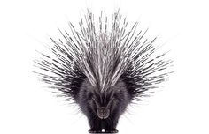 Are you a Porcupine?