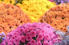 Pink,orange & yellow flowers at Waterloo Uptown Square, Ontario Orange Yellow, Yellow Flowers, Ontario, Nature, Pink, Naturaleza, Nature Illustration, Pink Hair, Off Grid