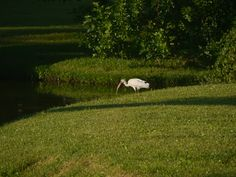 Ibis at John Bonner Park. Panasonic G5 200mm.