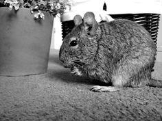 Bloody love this little fella! #degu