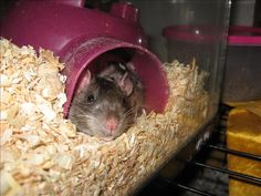 These are our cut cuddly rats snuggling together - xhdiy