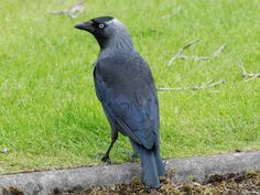 Jackdaw Bird .........Springwatch 2013