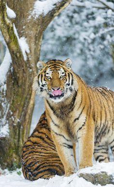 Beautiful Cats, Animals Beautiful, Cute Animals, Baby Animals, Funny Animals, Big Cats, Cool Cats, Panthera Tigris Altaica, Tiger Love
