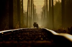 On the tracks of a coyote
