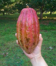 #Madagascar #trinitario #cacao #cacaotree #adventuresinmadagascar #ambajan Madagascar, Cooking Recipes, Chef Recipes, Recipies, Recipes