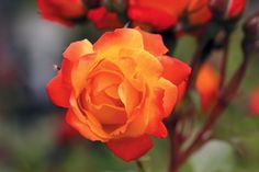 "'Piñata' - Climbing Changeable continual golden yellow orange 3"" blooms (petals 28), similar to 'Joseph's Coat' with more abundant and smaller blooms. medium glossy green foliage. (I have four surviving of eight purchased. beautiful, yet these struggle in my rose garden in Austin, TX)   - Heirloom Roses"