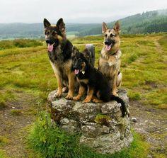 .Beautiful Shepherds Courtesy: Sandra Revet Loohuis Thanks www.aboutgermanshepherddog.com