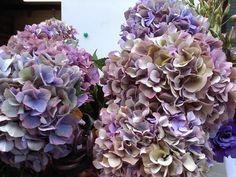 Rusty purple hydrangea